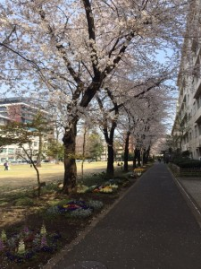 農大キャンパスの桜並木