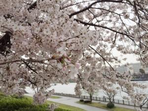 隅田川の桜並木