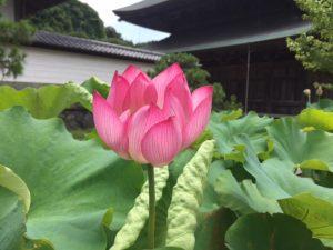 建長寺・蓮の花